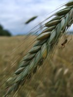 142 wheat and spider